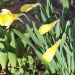 Daffodils in March