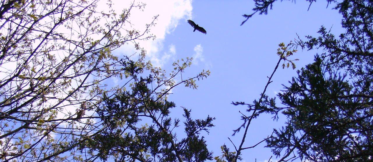 Vulture overhead